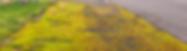 Didymodon nicholsonii - Barbula nicholsonii - Derbyshire