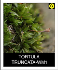 TORTULA--TRUNCATA-WM1.png