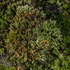 Bryum argenteum (Silver-moss) with capsules