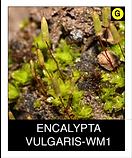 ENCALYPTA-VULGARIS-WM1.png