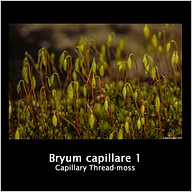 Bryum Capillare 1.png