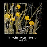 Phycomyces nitens.png