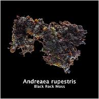 Andreaea rupestris.png