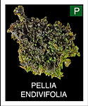PELLIA-ENDIVIFOLIA.png
