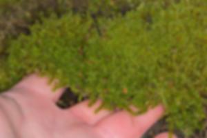 Dense carpet of Rhytidiadelphus squarrosus - Springy Turf-moss - Derbyshire