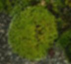 Syntrichia ruralis subsp. ruralis Tortula ruralis Great Hairy Screw-moss