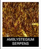 AMBLYSTEGIUM-SERPENS.png