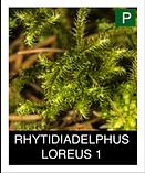 RHYTIDIADELPHUS-LOREUS-1.png