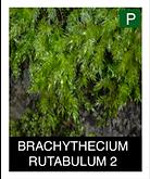 BRACHYTHECIUM-RUTABULUM-2.png