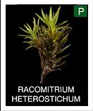 RACOMITRIUM-HETEROSTICHUM.png