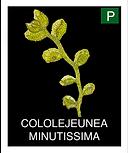 COLOLEJEUNEA-MINUTISSIMA.png