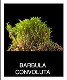 BARBULA-CONVOLUTA.png