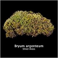 Bryum argenteum.png