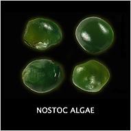 NOSTOC ALGAE.png