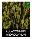 AULACOMNIUM-ANDROGYNUM.png