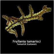 Frullania-tamarisci.png