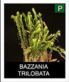 BAZZANIA-TRILOBATA.png