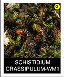 SCHISTIDIUM-CRASSIPULUM-WM1.png