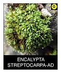 ENCALYPTA-STREPTOCARPA-AD.png