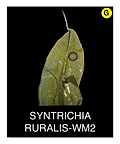 SYNTRICHIA-RURALIS-WM2.png