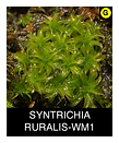SYNTRICHIA-RURALIS-WM1.png