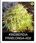 KINDBERGIA-PRAELONGA-AD2.png