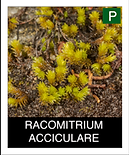 RACOMITRIUM-ACCICULARE.png