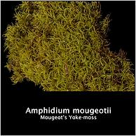 Amphidium mougeotii.png