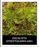 ENCALYPTA-STREPTOCARPA-WM1.png