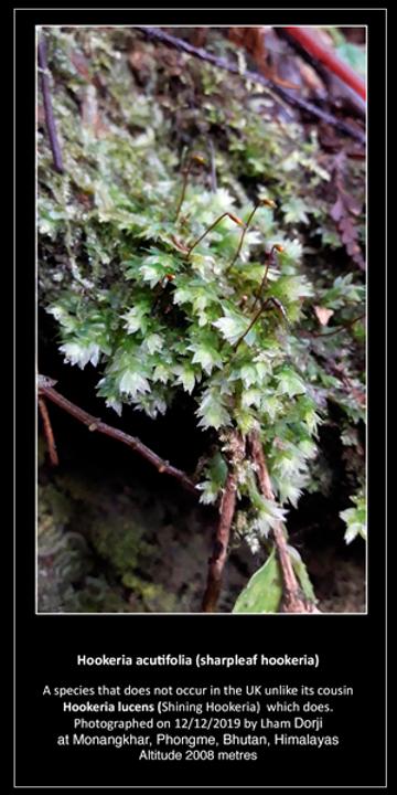 Hookeria-acutifolia.png