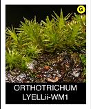 ORTHOTRICHUM-LYELLii-WM1.png