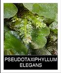 PSEUDOTAXIPHYLLUM-ELEGANS.png