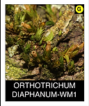 ORTHOTRICHUM-DIAPHANUM-WM1.png