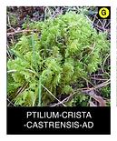 PTILIUM-CRISTA--CASTRENSIS-AD.png