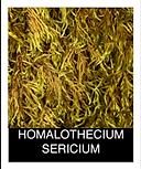 HOMALOTHECIUM-SERICIUM.png