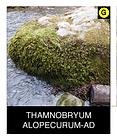 THAMNOBRYUM-ALOPECURUM-AD.png