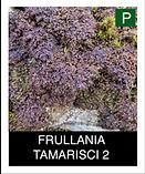 FRULLANIA-TAMARISCI-2.png