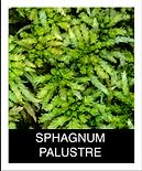 SPHAGNUM-PALUSTRE.png