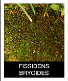 FISSIDENS-BRYOIDES.png