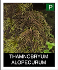 THAMNOBRYUM-ALOPECURUM.png