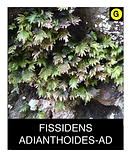 FISSIDENS-ADIANTHOIDES-AD.png