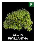 ULOTA-PHYLLANTHA.png