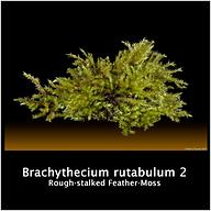 BRACHYTHECIUM RUTABULUM2.png