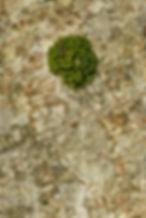 Tree trunk - Ulota phyllantha - Frizzled Pincushion moss - Kilchoman, Isle of Islay.
