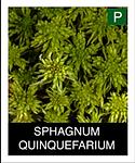 SPHAGNUM-QUINQUEFARIUM.png