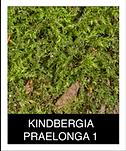 KINDBERGIA-PRAELONGA-1.png