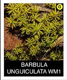 BARBULA-UNGUICULATA-WM1.png