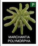 MARCHANTIA-POLYMORPHA.png