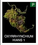 OXYRRHYNCHIUM-HIANS-1.png
