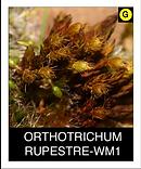ORTHOTRICHUM-RUPESTRE-WM1.png